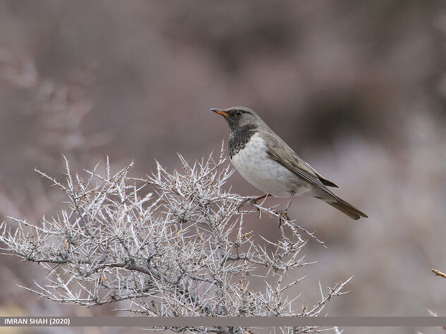 Black-throated Thrush (Turdus atrogularis) - Kostenloses image #479805