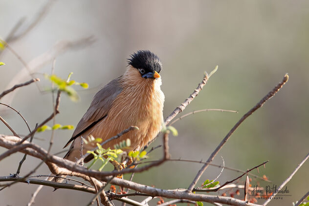 A Brahminy Starling enjoying the action - Kostenloses image #479905